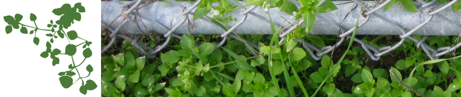 chickweed-header