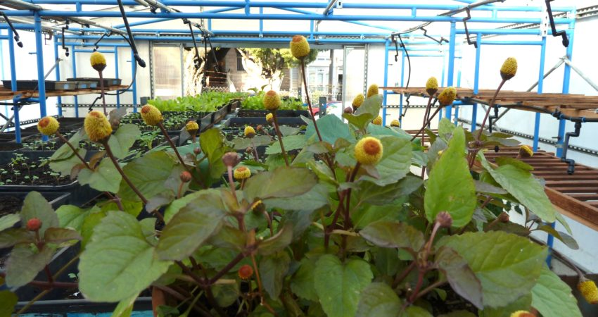 Hayes Valley Farm. Medicinal Spilanthes growing in the greenhouse. 2012.
